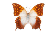White and orange butterfly Charaxes acuminatus Royalty Free Stock Photography