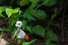 A white and orange butterfly feeding on nectar from a flower. A white and orange butterfly hanging upside down and feeding on nectar from a flower stock photo