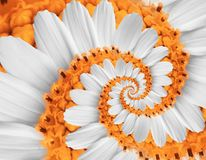 White orange camomile daisy cosmos kosmeya flower spiral abstract fractal effect pattern background White flower spiral abstract. White orange camomile daisy stock images