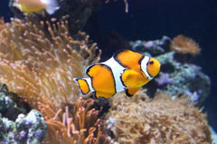 White and orange Clownfish Royalty Free Stock Photos