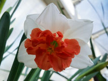 White and orange Daffodil. Flowers on display in the greenhouses at Elizabeth park in Hartford, CT Stock Image