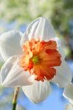 White with orange daffodil Stock Photos