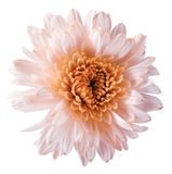White-orange  flower chrysanthemum, garden flower, white  isolated background with clipping path.  Closeup. no shadows. orange cen Stock Image