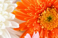 White and Orange gerbera daisy flower spring summer blooming beautiful. Background royalty free stock photos