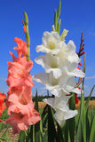 White and orange gladiolas in the flower field.  Royalty Free Stock Photos