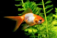 White orange goldfish Stock Image