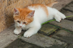 White-orange homeless kitten staring and crouching beside the st Royalty Free Stock Image