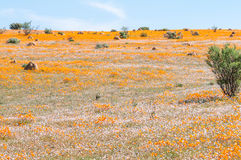 White and orange indigenous flowers at Skilpad Royalty Free Stock Images