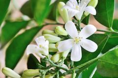 White orange jasmin flowers in full bloom Royalty Free Stock Image