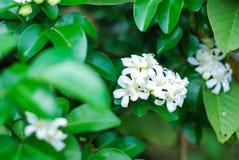 White orange jasmine. Beautiful natural royalty free stock photos