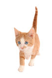 White and Orange Kitten Royalty Free Stock Images
