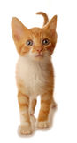 White and orange kitten walking Royalty Free Stock Photos