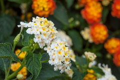 White and orange lantana flowers in a garden Royalty Free Stock Photo