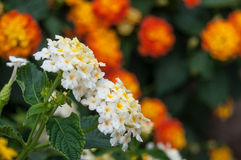 White and orange lantana flowers in a garden Stock Images