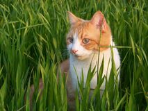 White and orange male cat stock images