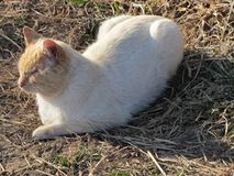White and Orange Cat in Straw royalty free stock photography
