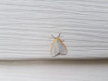 White and orange moth Stock Photo