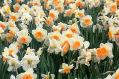 White and orange narcissus in a spring time. Narcissus, spring perennial plants known as daffodil, daffadowndilly,narcissus, and jonquil are generally white or stock images