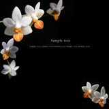 White & orange orchid black background Royalty Free Stock Images