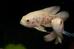 White and Orange Oscar Fish in Aquarium Stock Image