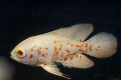 White and Orange Oscar Fish in Aquarium Royalty Free Stock Photos