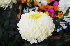 White orange pink flowers, natural background, gardens. White orange pink flowers, green leaves, natural beautiful background. Smelling flowey image. Ecological Royalty Free Stock Photos