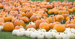 White and Orange Pumpkin patch. A trip to the pumpkin farm in New York royalty free stock images