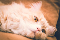 White orange pussycat head closeup with open eyes. And adorable face stock photography