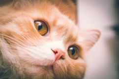 White orange pussycat head closeup with open eyes Stock Photography