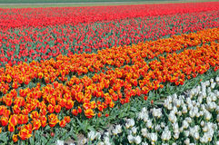 White, orange and red tulips on dutch fields Royalty Free Stock Photos