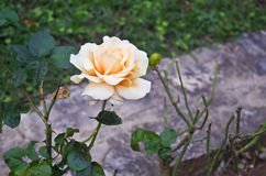 White and orange rose stock photography