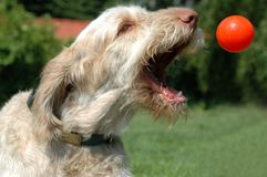 White-orange spinone dog graps a flying orange ball. Thrown from a flyball machine royalty free stock photo