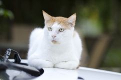 White and orange stray outdoor cat sitting on car. White and orange outdoor wild feral cat sitting on car Royalty Free Stock Photo
