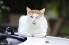 White and orange stray outdoor cat sitting on car. White and orange outdoor wild feral cat sitting on car Stock Photos