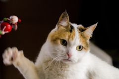 White and Orange Tabby Cat Stock Photos