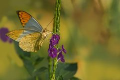 White Orange tip butterfly. Perched on its nectaring plant royalty free stock photography