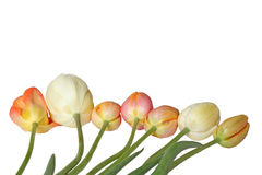 White and orange tulips Stock Photo