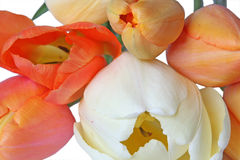 White and orange tulips Stock Images
