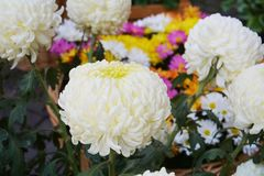 White orange yellow pink flowers, natural background, gardens Royalty Free Stock Photo