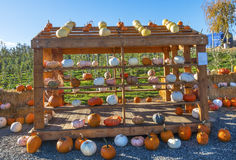 White Orange Yellow Pumpkins Box Squash Garden Washington Stock Photo