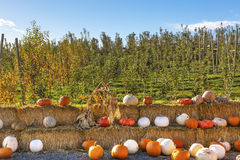 White Orange Yellow Pumpkins Squash Garden Washington Stock Photography