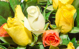 White, orange and yellow rose flowers, details, close up Stock Photo