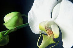 White Orchid. Detail of a Phalaenopsis Taisuco Kochdian Royalty Free Stock Photography