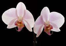 White orchid. There is a white orchid (Phalaenopsis) in the picture. The background is black Royalty Free Stock Photo