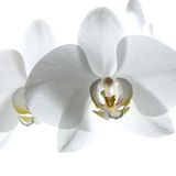 White orchid royalty free stock image