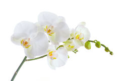 White Orchid. On white background Stock Photography