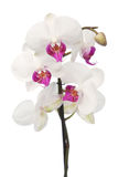 White orchid. Close up on white Stock Photo
