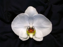 White Orchid. Single doritaenopsis hybrid orchid against dark neutral background royalty free stock images