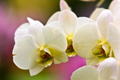 The white orchid stock image