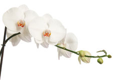 White orchid. Isolated on white Royalty Free Stock Photos